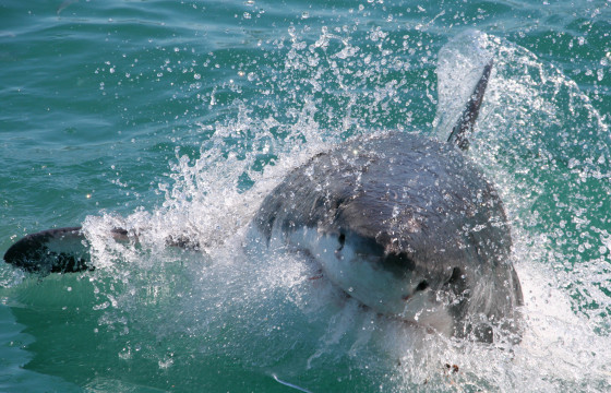 Pull your sleeves up and enter the ocean on a great white shark adventure