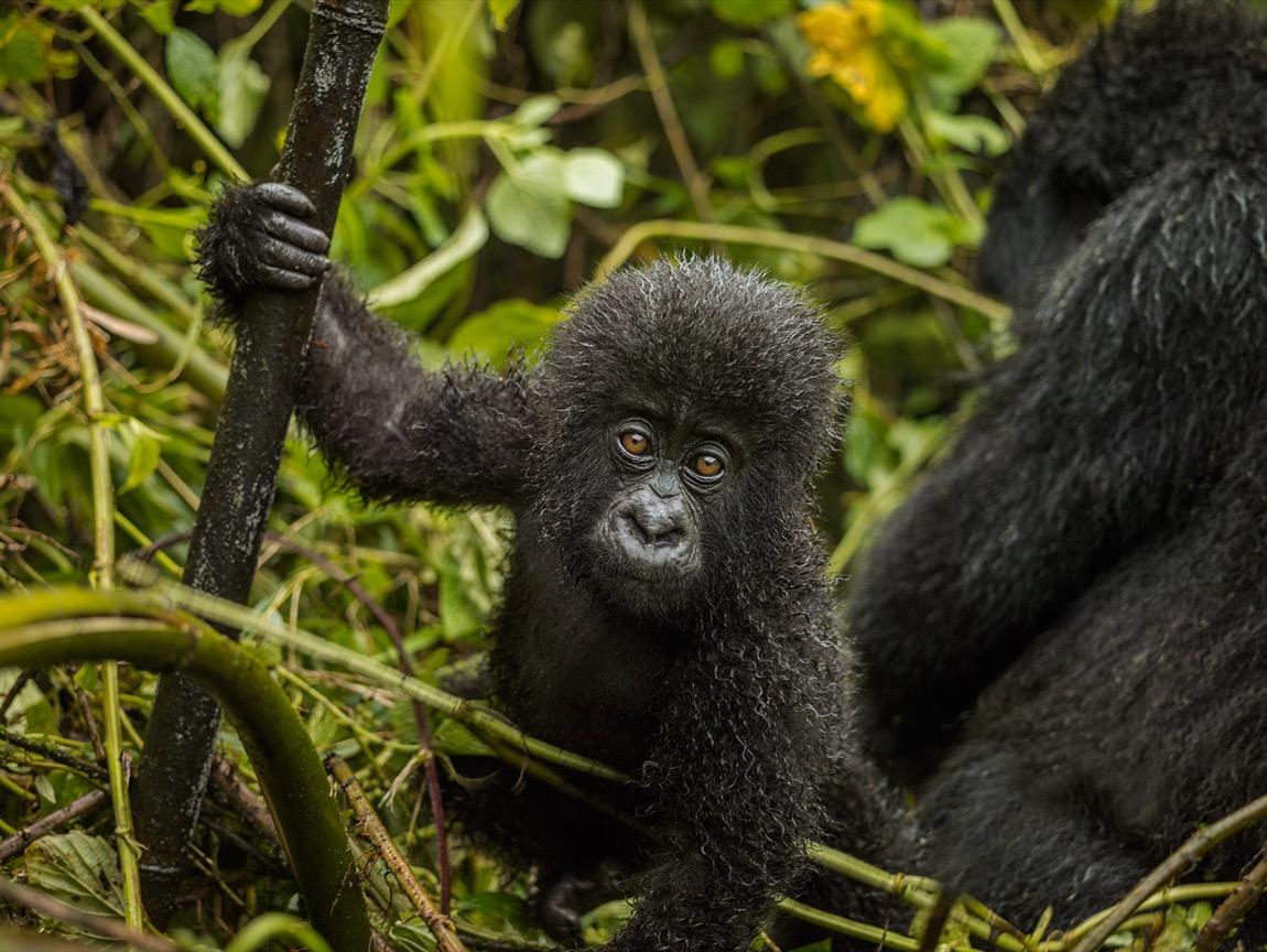 Gorillas and Golden Monkeys in Rwanda