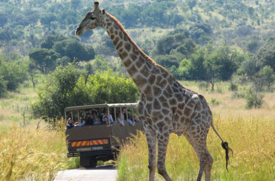 Spot Africa's Big 5 in the malaria-free Pilanesberg National Park