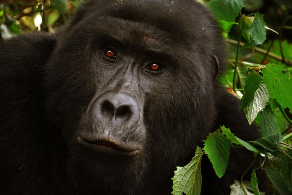 Trekking with the Gorillas in Rwanda